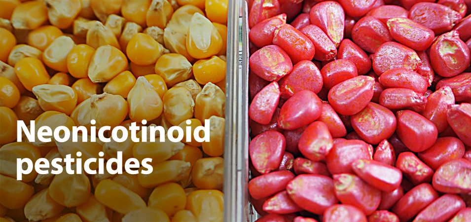 Agricultural corn treated with neonicotinoid seed coatings