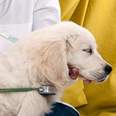 Veterinarian holding stethescope to dog