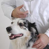 Black and white dog receiving vaccine