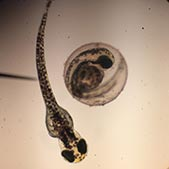 Zebrafish embryo and hatchling