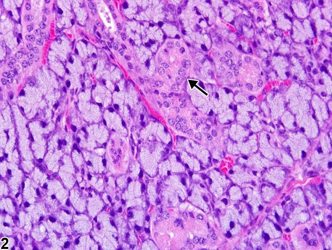 Image of sexual dimorphism (female) in the salivary gland from a female B6C3F1 mouse in a subchronic study