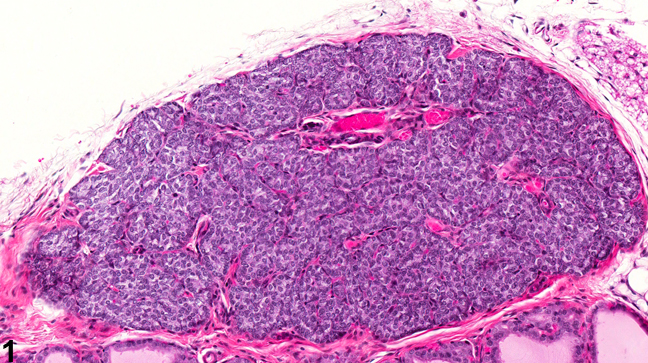 Image of normal in the parathyroid gland from a male F344/N rat in a chronic study