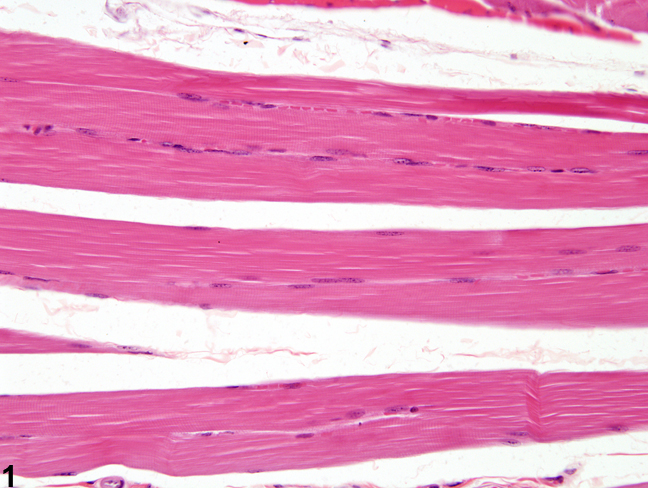 Image of normal in the skeletal muscle from a male B6C3F1/N mouse in a subchronic study