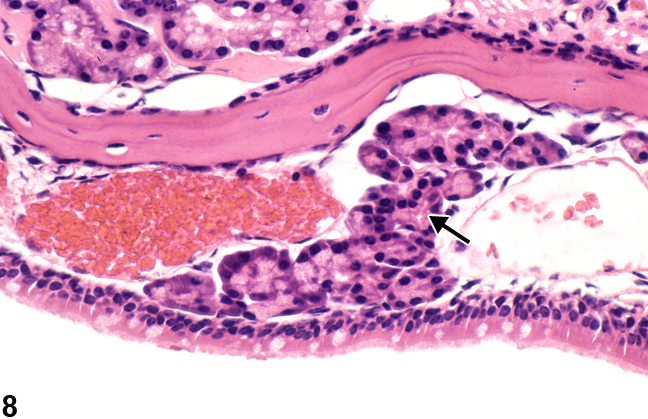 Image of normal respiratory epithelium and glands (level II) in the nose from a  B6C3F1/N mouse