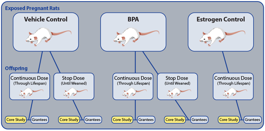 Pregnant rats exposed to BPA and offspring BPA dosage